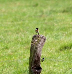 Schwarzkehlchen. Männchen im Prachtkleid