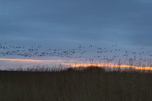 Morgendlicher Einflug der Gänse