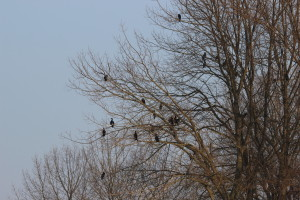 Kormorane im Baum