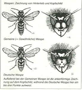 Deutsche Wespe : Gemeie Wespe