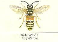 Rote Wespe