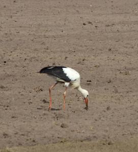 fressender Storch