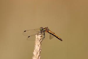 Weibchen Schwarze Heidelibelle