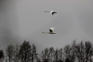 Fliegende Höckerschwäne