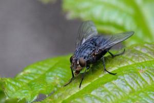Fliege2 Kopie