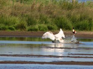Landung eines Höckerschwans