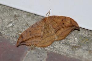 Erlen-Sichelflügler
