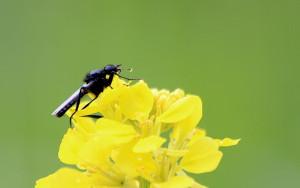 Haarmücke (Bibionidae)