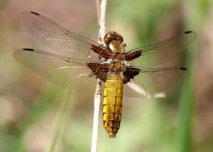 Plattbauch (Weibchen)
